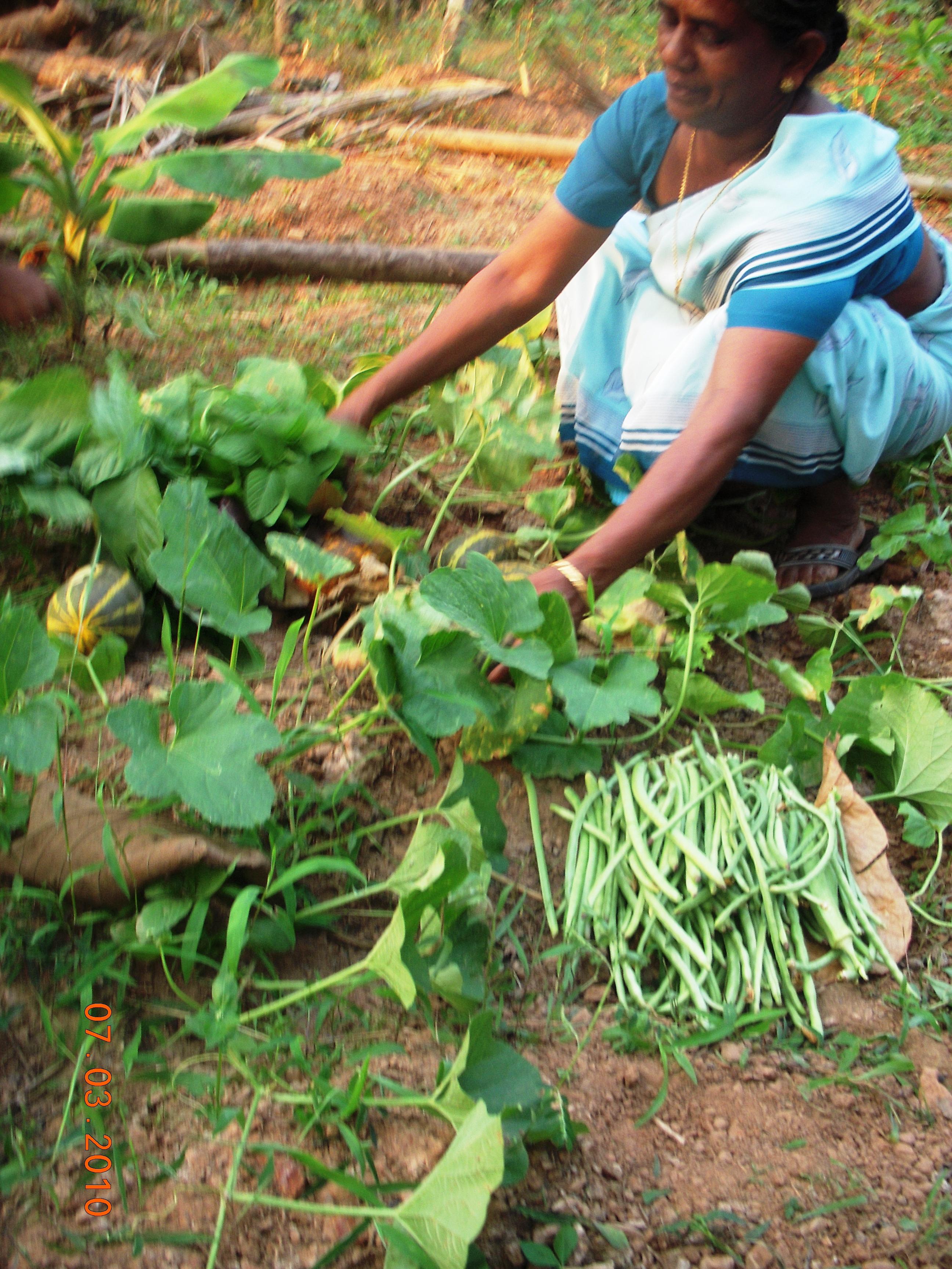 KItchen Garden Vegetable Cultivation